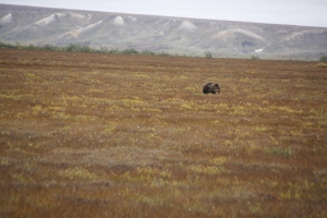 Zum Glück ist der Grizzly noch weit genug weg