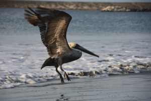 Ein Pelikan in freier Wildbahn - am Strand von San Rosalito